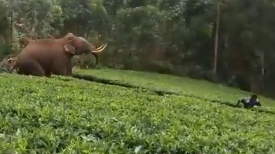 Elefant will Mann auf Teeplantage angreifen