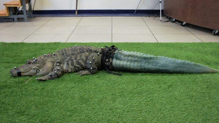 Schwanz-Prothese für einen Alligator