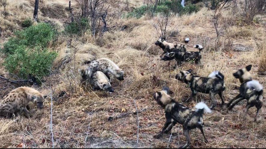 Hyänen und Wildhunde streiten um Beute