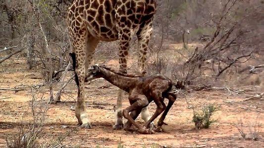 Große Schritte für eine kleine Giraffe