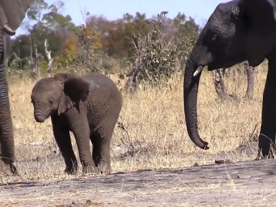 Elefantenkalb hat seinen Rüssel verloren