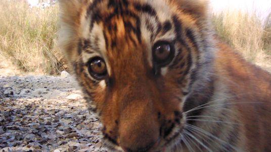 Tigerpopulation in Nepal wächst rasant