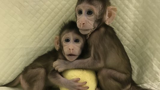 Geklonte Affen sind gentechnischer Meilenstein