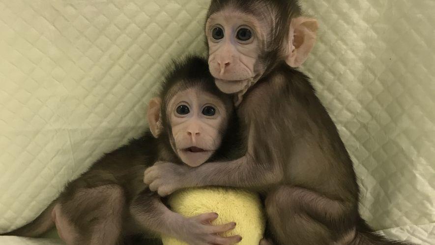 Affen-Klone werfen Fragen zur Zukunft der Forschung auf