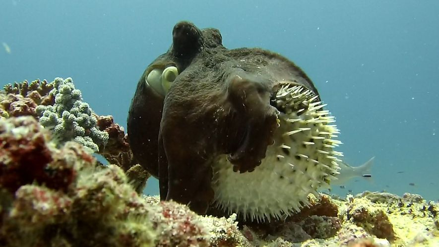 Wenn ein Oktopus einen Kugelfisch fressen will