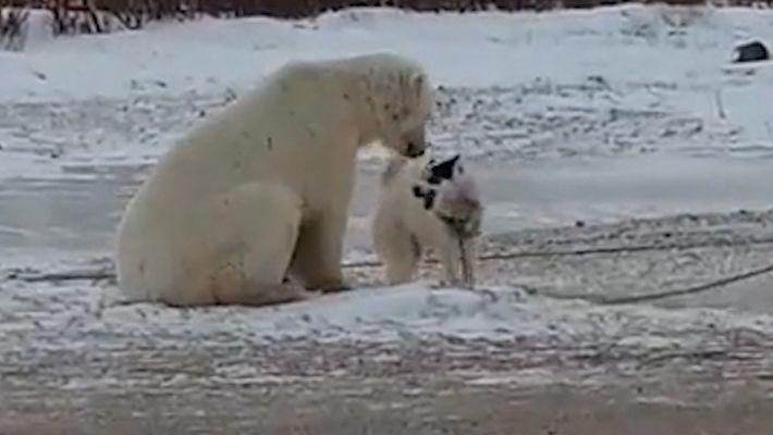Begegnung zwischen Eisbär und Schlittenhund