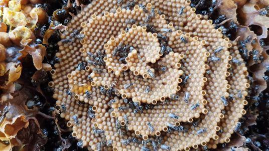 Stachellose Bienen in Australien bauen einzigartige, spiralförmige Nester