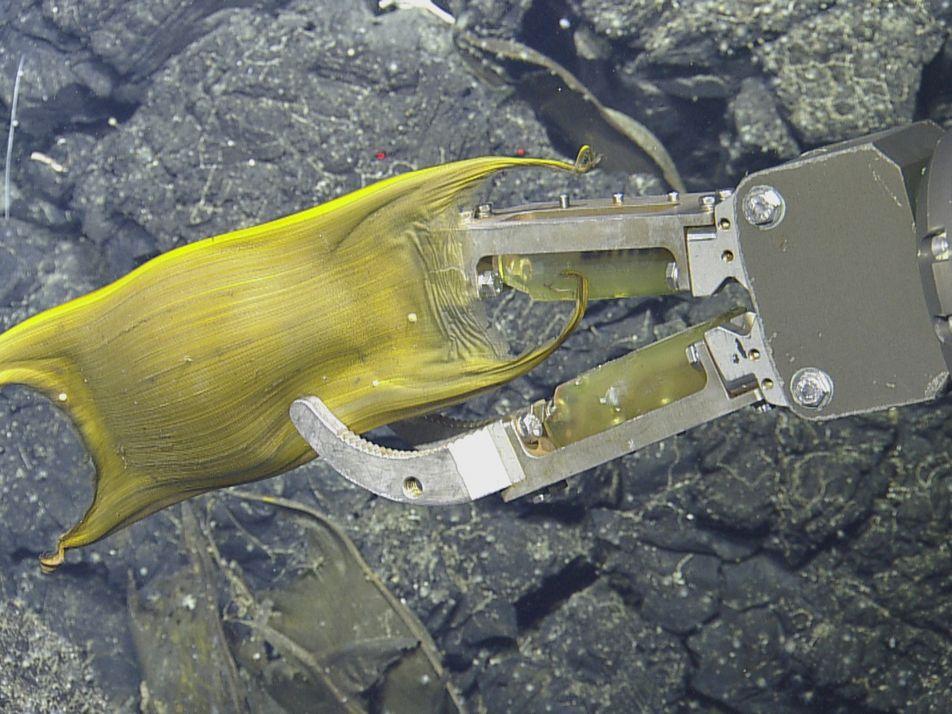 Tiefseefische brüten Eier an hydrothermalen Quellen aus