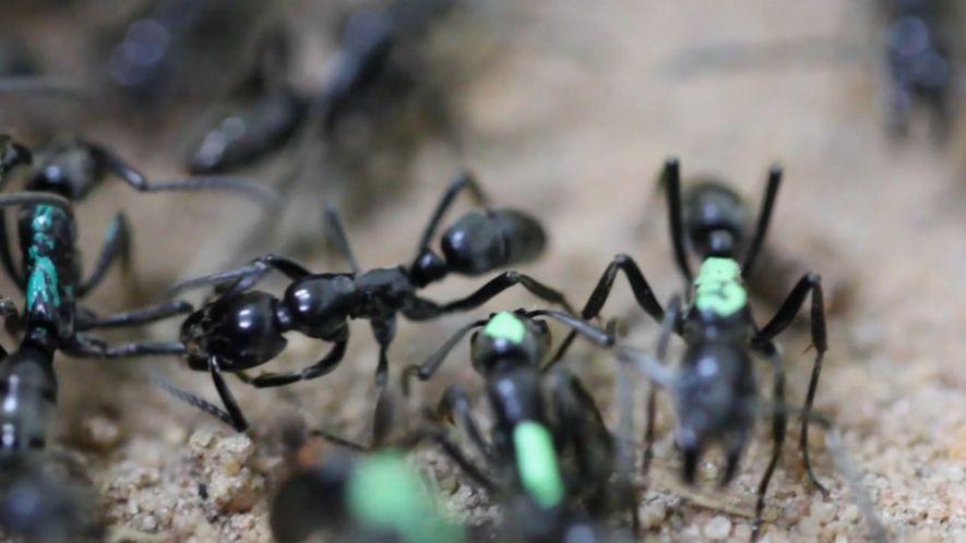 Ameisen opfern sich selbst, statt ihre Verletzungen behandeln zu lassen