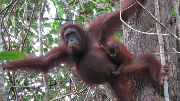 Fast 150.000 Borneo-Orang-Utans in nur 16 Jahren gefangen und getötet