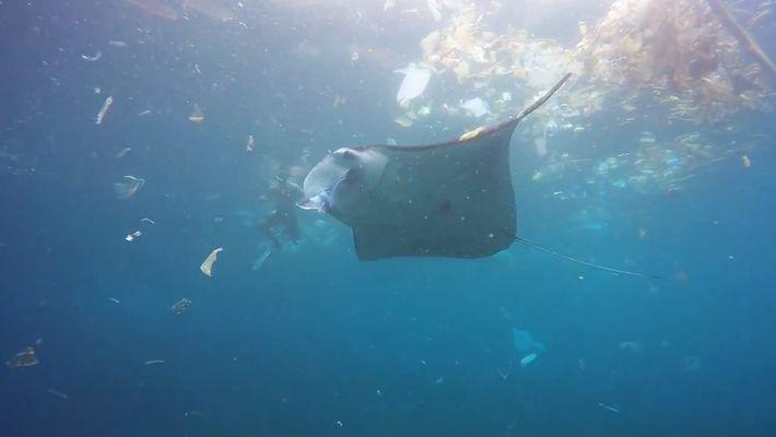 Mantarochen schwimmt in einem Ozean aus Müll