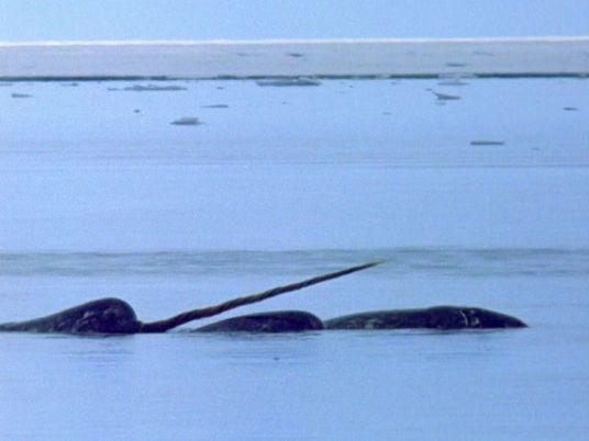 Ein Sonderling unter den Walen: Der Narwal und sein 3 Meter langer Stoßzahn