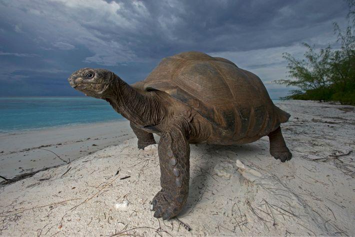 Eine Aldabra-Riesenschildkröte schlendert über eine Düne auf der Insel Picard. Diese Kreaturen können während ihrer 150-jährigen ...
