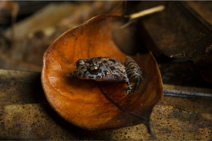Ein Soglossid-Frosch ruht sich in einem Laubblatt im Naturreservat Vallée de Mai aus. Die Seychellenfrösche (Sooglossus Sechellensis) bevorzugen ...