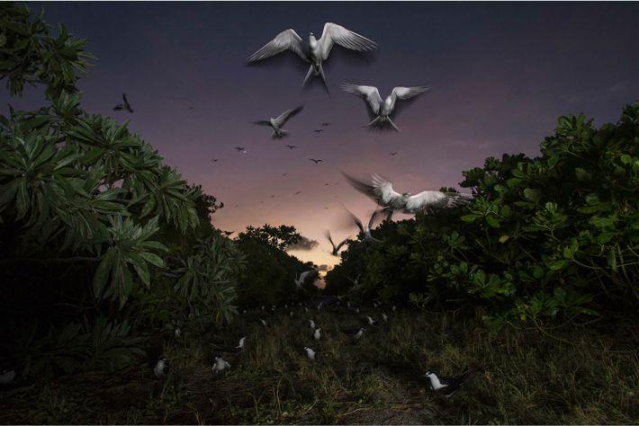 Rußseeschwalben kehren zu ihrer Kolonie auf Bird Island zurück. Jeden Frühling finden sich hier etwa 1,5 Millionen ihrer ...
