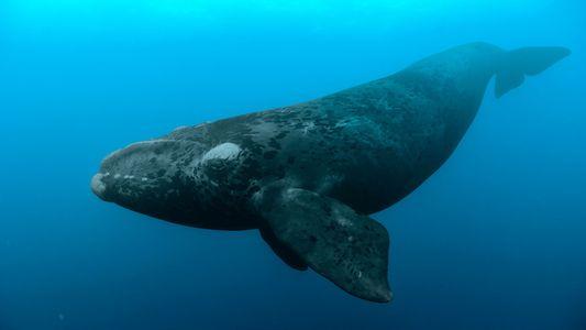 Vor Kanadas Küste sterben gefährdete Wale einen rätselhaften Tod