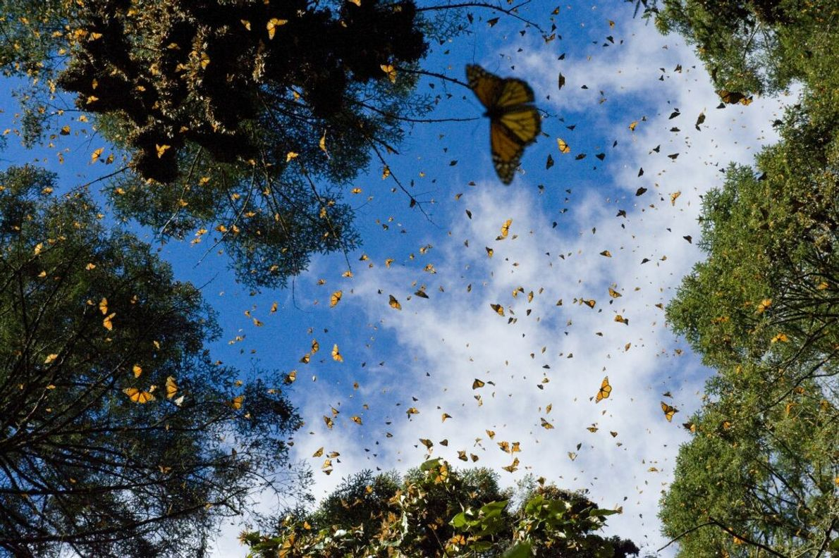 Mit einer kurzen Verschlusszeit lässt sich ein einzelner Moment, wie hier der Flug der Monarchfalter, einfangen. ...