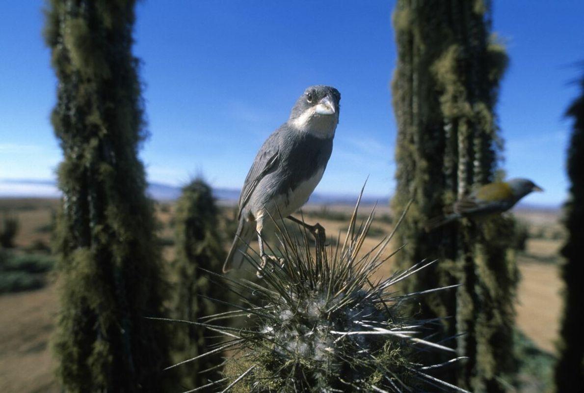 Ein Braunsteißdiuca auf einem Kaktus. Durch eine geringe Tiefenschärfe verschwimmt der Hintergrund und das Hauptmotiv, der ...