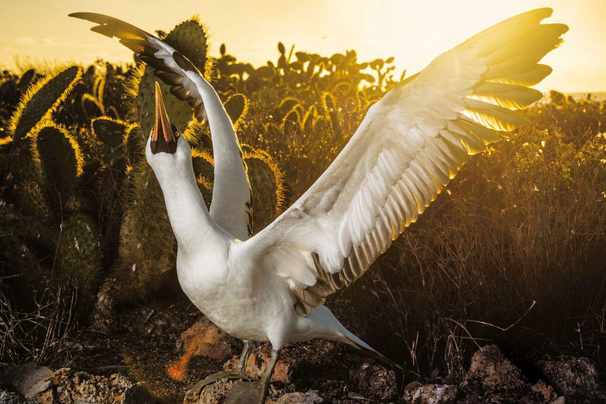 Ein Nazcatölpel spreizt in der Nähe seines Nestes auf der Isla Wolf das Gefieder. Gerade ist ...