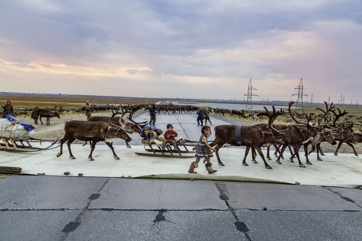 Rentiere laufen über die Straße