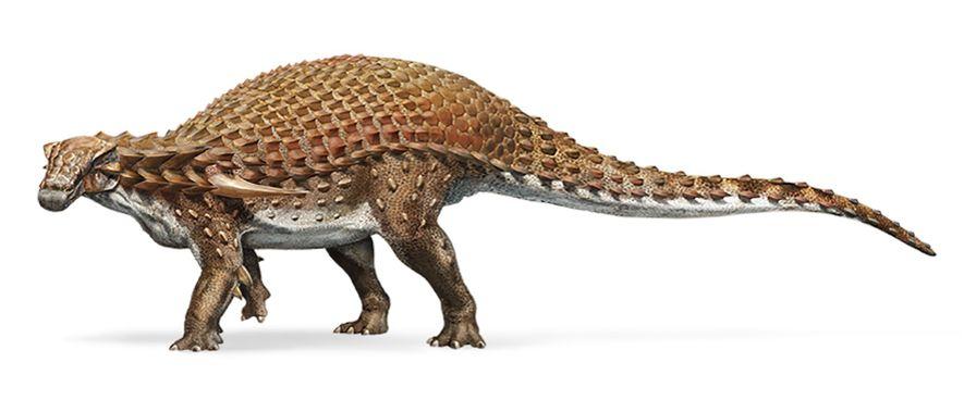 Der Paläobiologe Jakob Vinther sagt, dass das rötlich-braune Pigment Phänomelanin an vielen Stellen des Borealopelta nachweisbar war, mit Ausnahme seines Bauches. Sofern das stimmt, könnte diese zweifarbige Färbung Borealopelta bei der Tarnung vor Räubern geholfen haben.