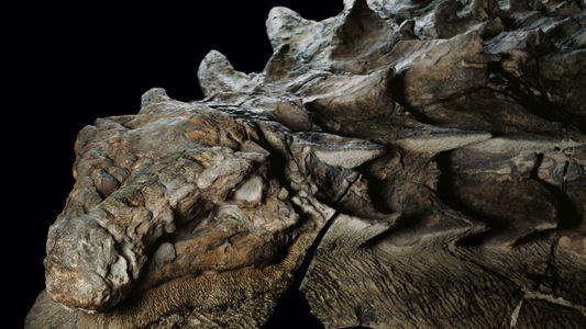 Sensationsfund: Ein Nodosaurier in Stein verewigt