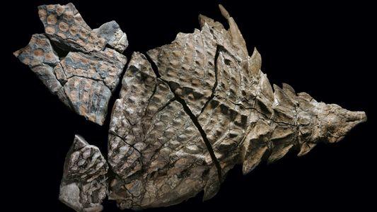 Galerie: Ein Nodosaurier in Stein verewigt