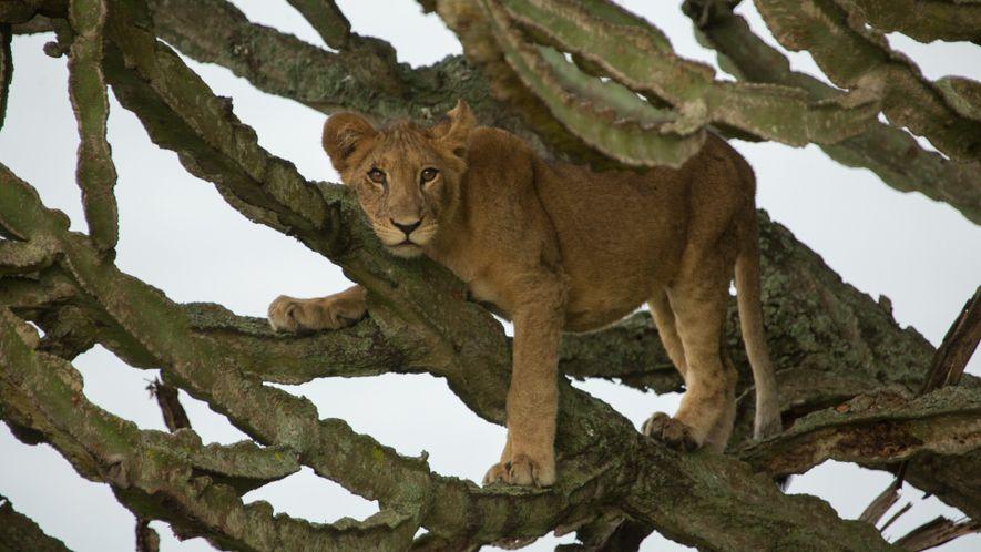 Junge Löwen in Afrika vergiftet