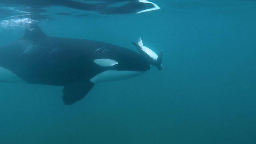 """Jagdverhalten? Orcas """"spielen"""" mit Schildkröten"""