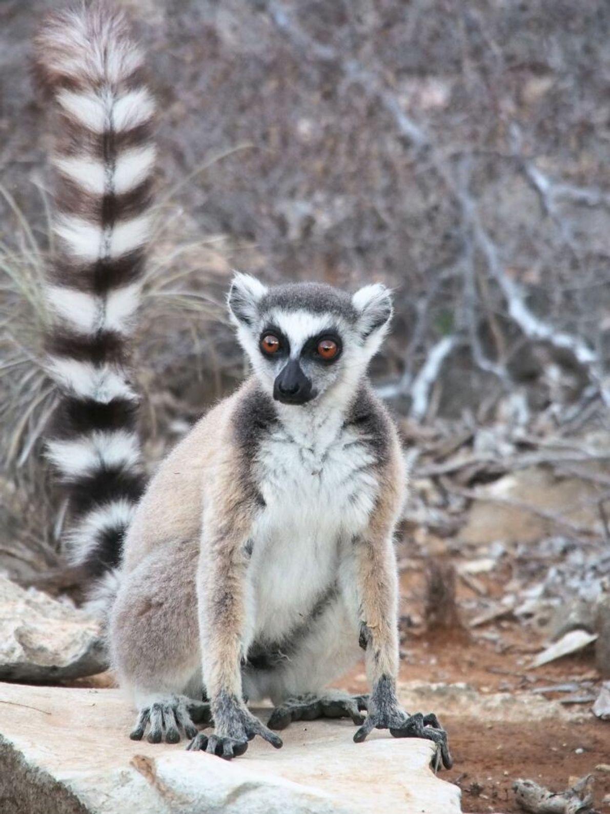 VERLIERER | Lemuren: Madagaskars charakteristische Affen sind in großer Gefahr. Ihre Wälder werden gerodet und in ...