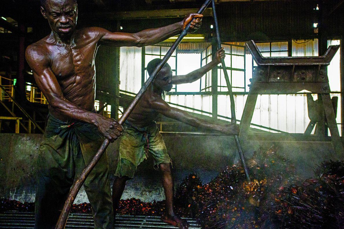 In einer Ölmühle inder Demokratischen Republik Kongo holen Arbeiter Palmfrüchte aus dem Dampfgarer. Die Ölpalme, Elaeis …