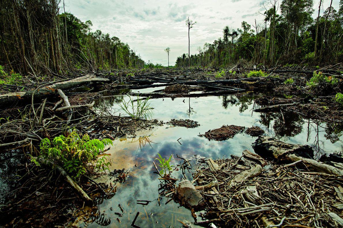 Dieser auf kohlenstoffreichem Torfboden wachsende Wald auf der Insel Borneo wurde 2015 brandgerodet, um Land für …