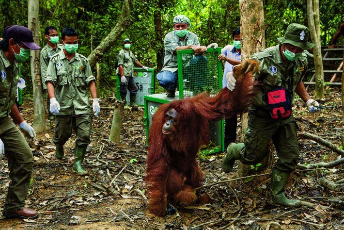 Mitarbeiter der Borneo Orangutan Survival Foundation entlassen einen Menschenaffen auf einer geschützten Insel in die Wildnis. ...