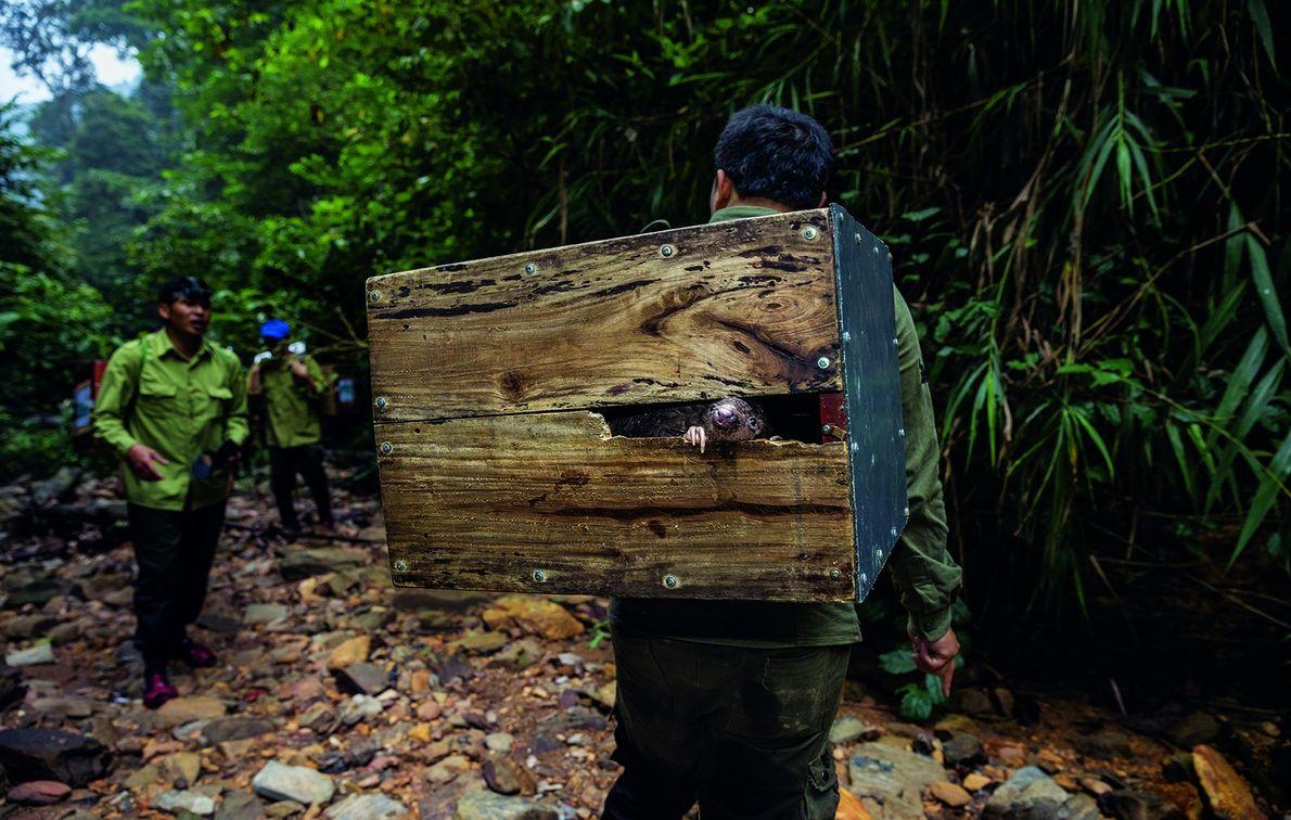 Pangolins wird in einer Holzkiste transportiert und in Sicherheit gebracht.