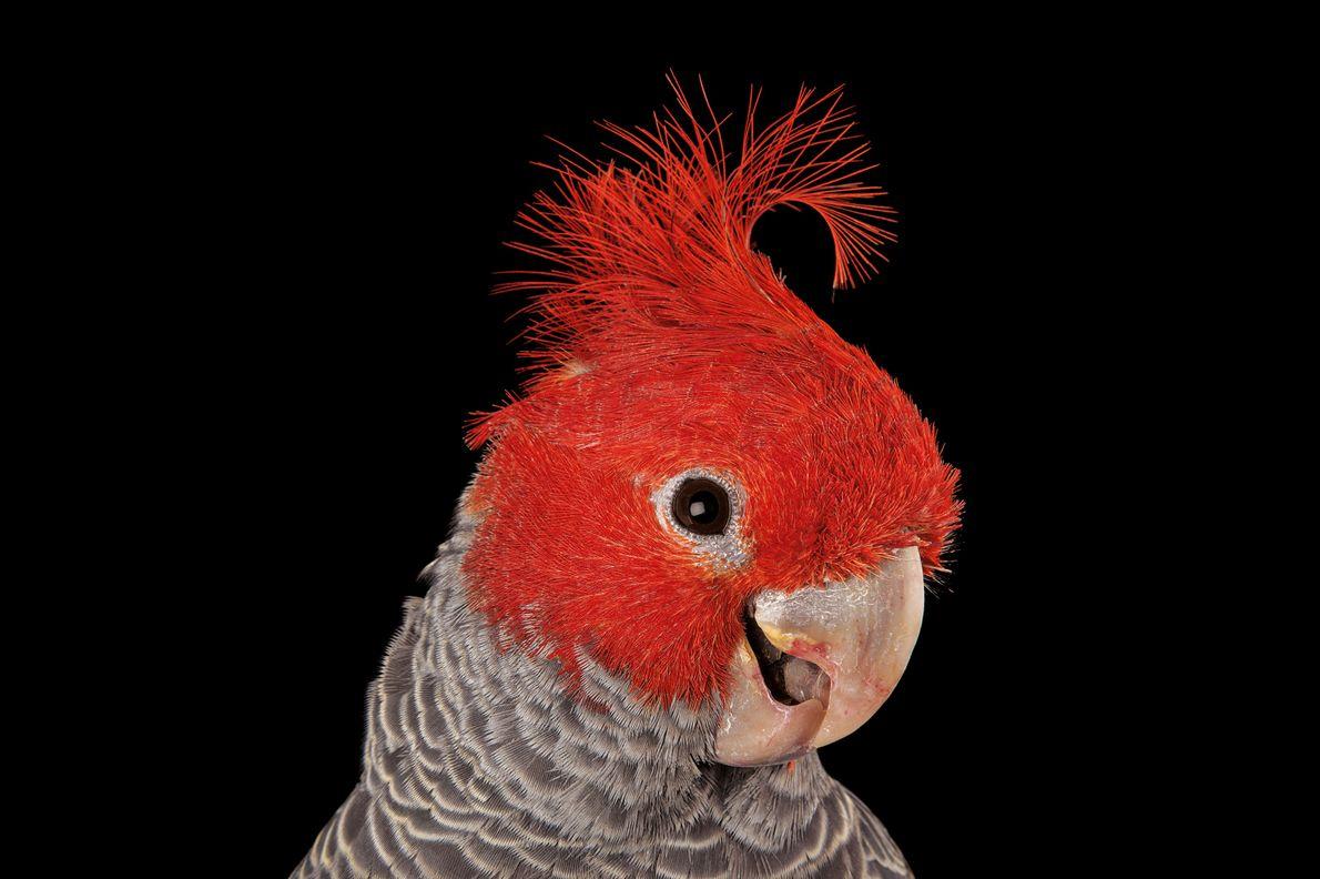 Der Lori Trichoglossus rosenbergii fliegt of mit anderen Papageien in lauten Schwärmen. Anfang des 20. Jahrhunderts …