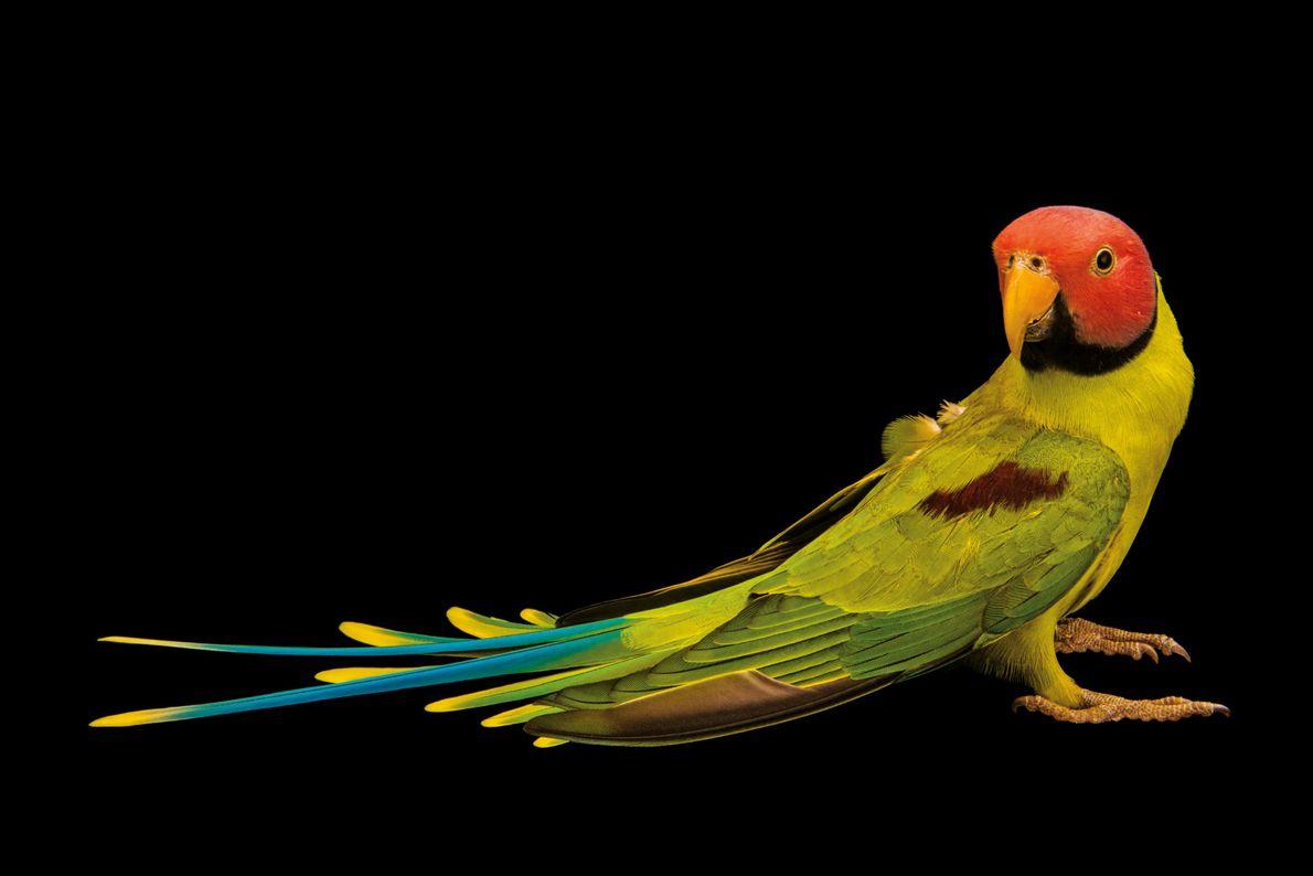 Der Rosenkopfsittich, ein gewandter Sänger, ist schon seit Jahrhunderten insbesondere in Europa als Haustier beliebt. Meist …