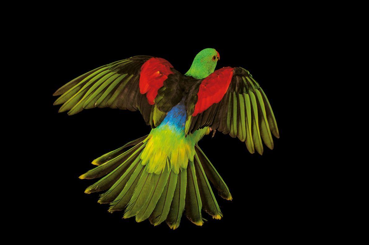 Die Männchen des in Australien, Indonesien und Papua-Neuguinea heimischen Rotflügelsittichs sehen schon für uns Menschen toll …