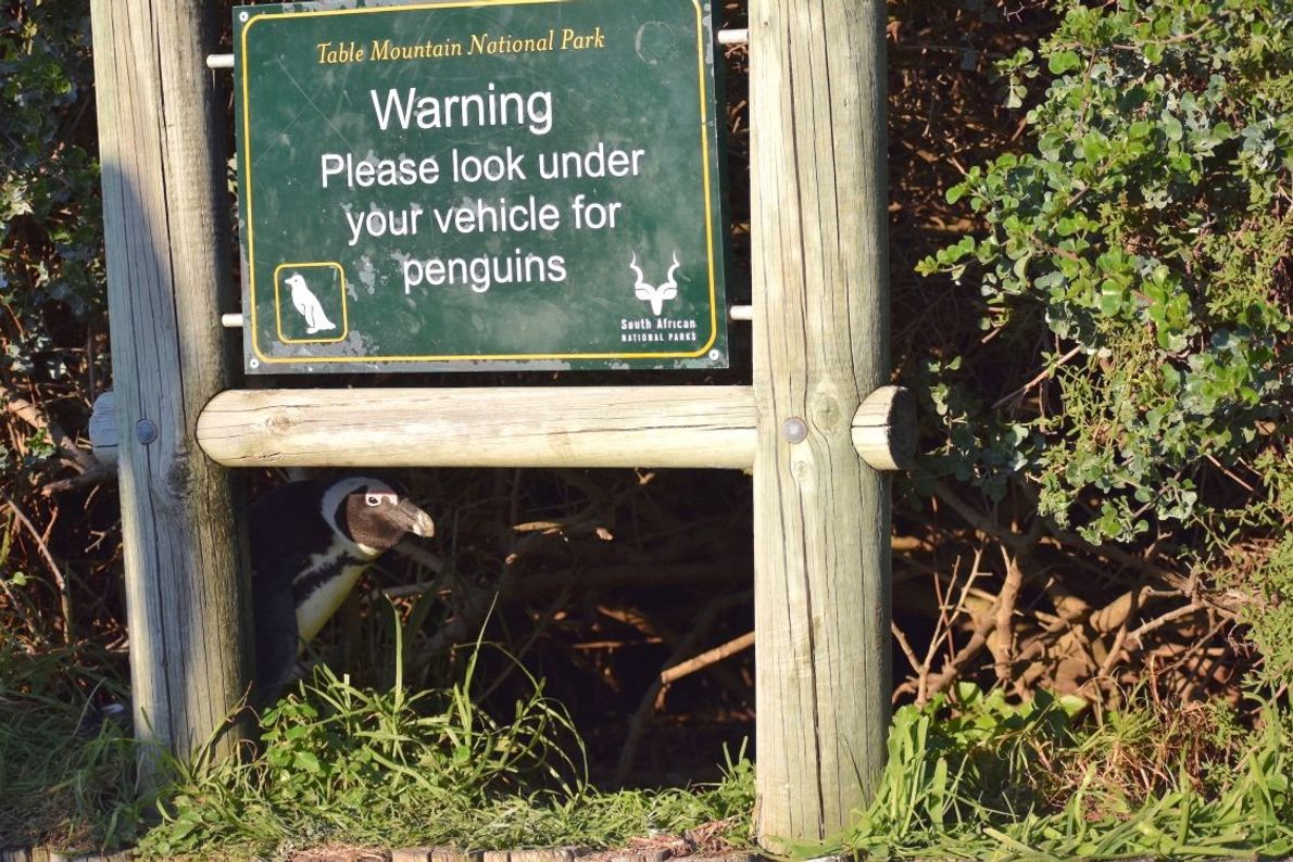 """No Penguins Under Here!"" 