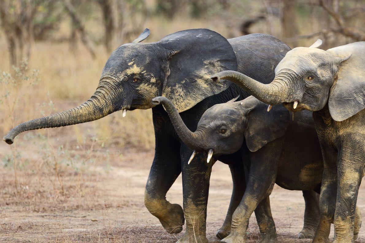 Drei Afrikanische Elefanten im Nationalpark Pendjari in Benin. Der Park beheimatet den größten Bestand dieser Tiere ...
