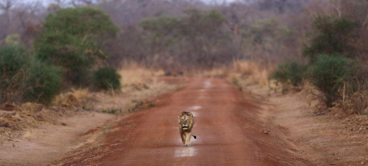 Ein Westafrikanischer Löwe folgt einem Weg im Nationalpark Pendjari in Benin. Die Art ist vom Aussterben ...