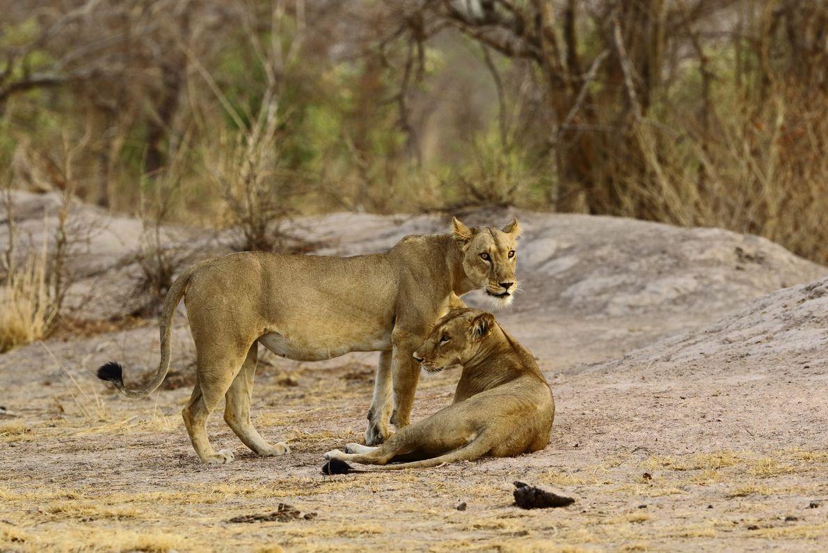 Zwei Westafrikanische Löwenweibchen im Nationalpark Pendjari in Benin. Die Savanne des Parks ist eine der letzten ...