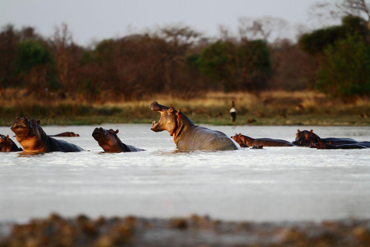 Eine Herde Flusspferde genießt das Wasser. Das Ökosystem von Pendjari ist nicht nur für zahlreiche Säugetiere ...