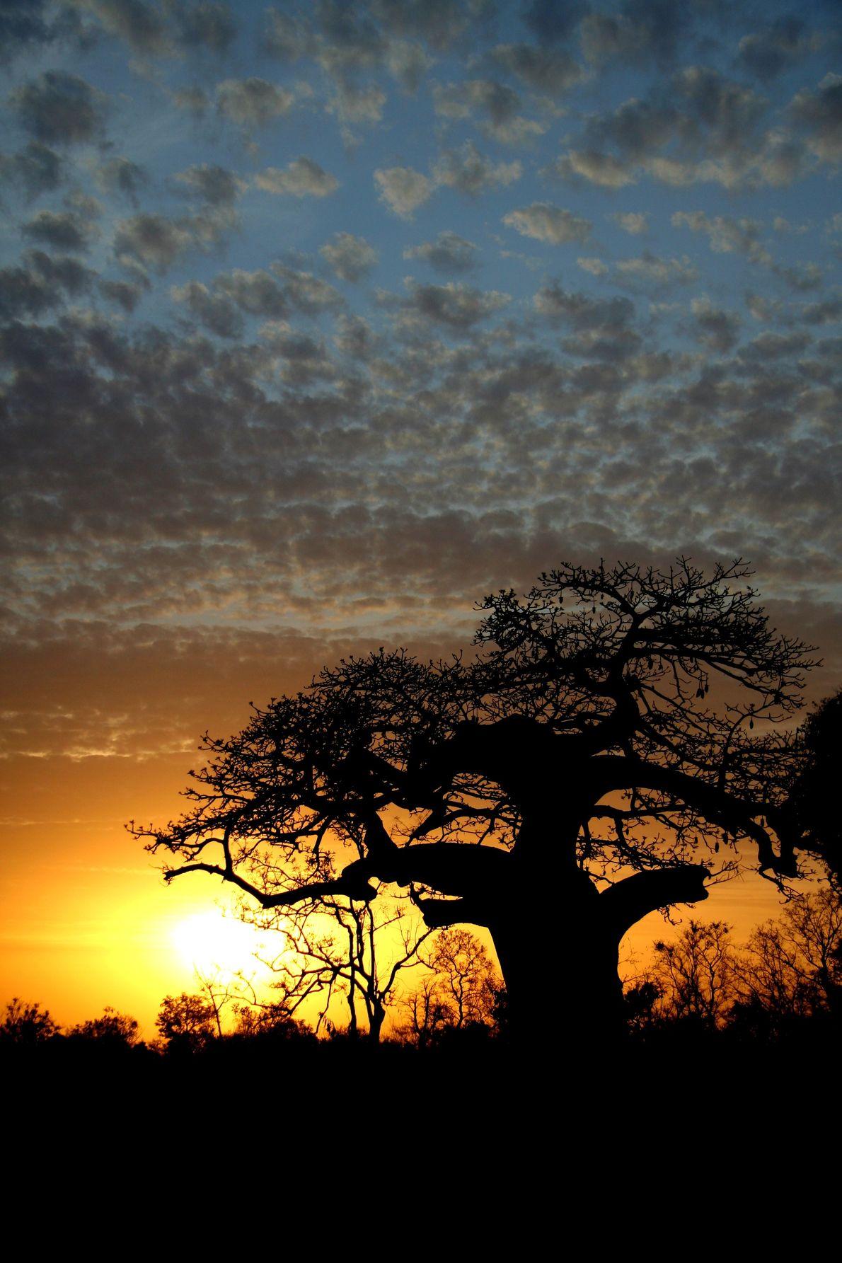 Ein einzelner Baobab hält sich wacker. Die spektakuläre Landschaft von Pendjari bietet zahlreichen Tier- und Pflanzenarten ...