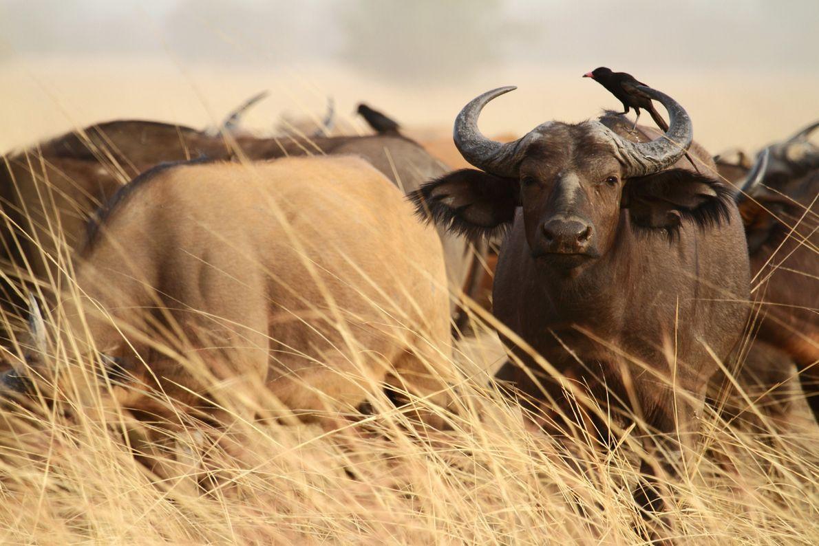 Madenhacker picken Parasiten aus dem Fell von Büffeln im Nationalpark Pendjari in Benin.