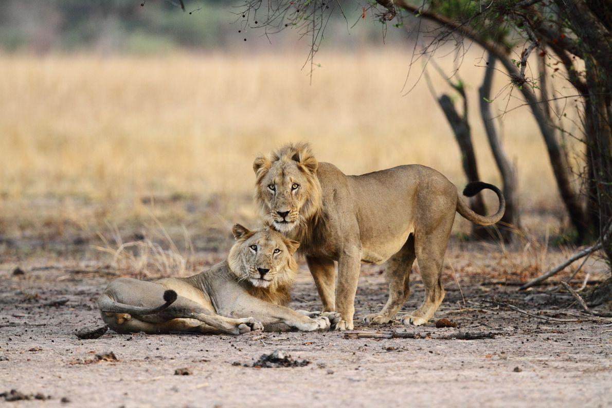 Zwei junge Westafrikanische Löwen im Nationalpark Pendjari in Benin.