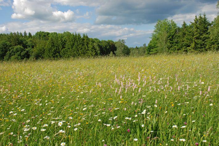 Seltener Anblick: Naturbelassene Blühwiesen sind überlebenswichtig für unzählige Insektenarten.