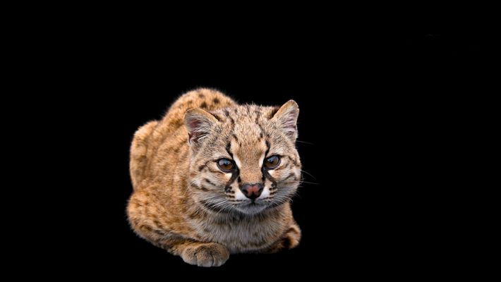 Chilenische Waldkatze: Der 10.000 Passagier auf der National Geographic Photo Ark