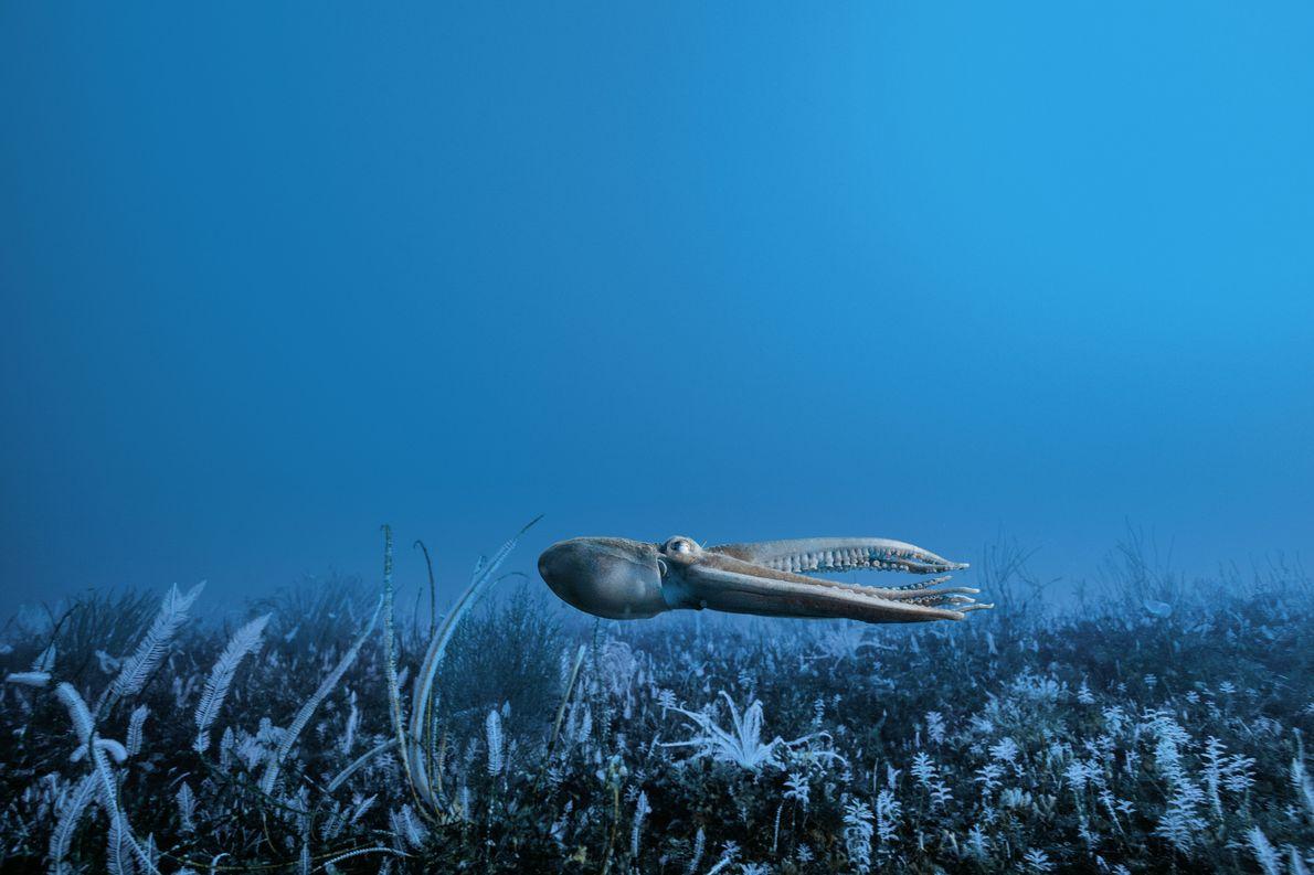 Tintenfischart in der Antarktis