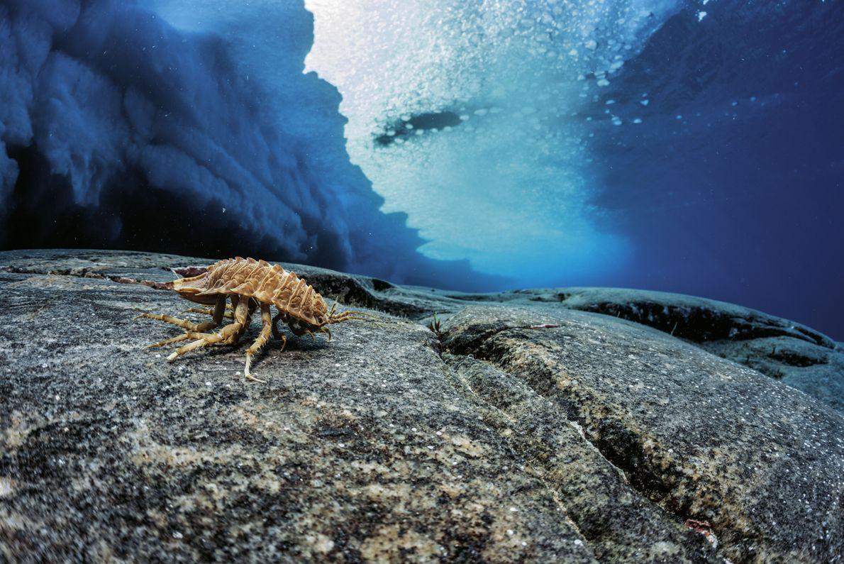 Isopode in der Antarktis
