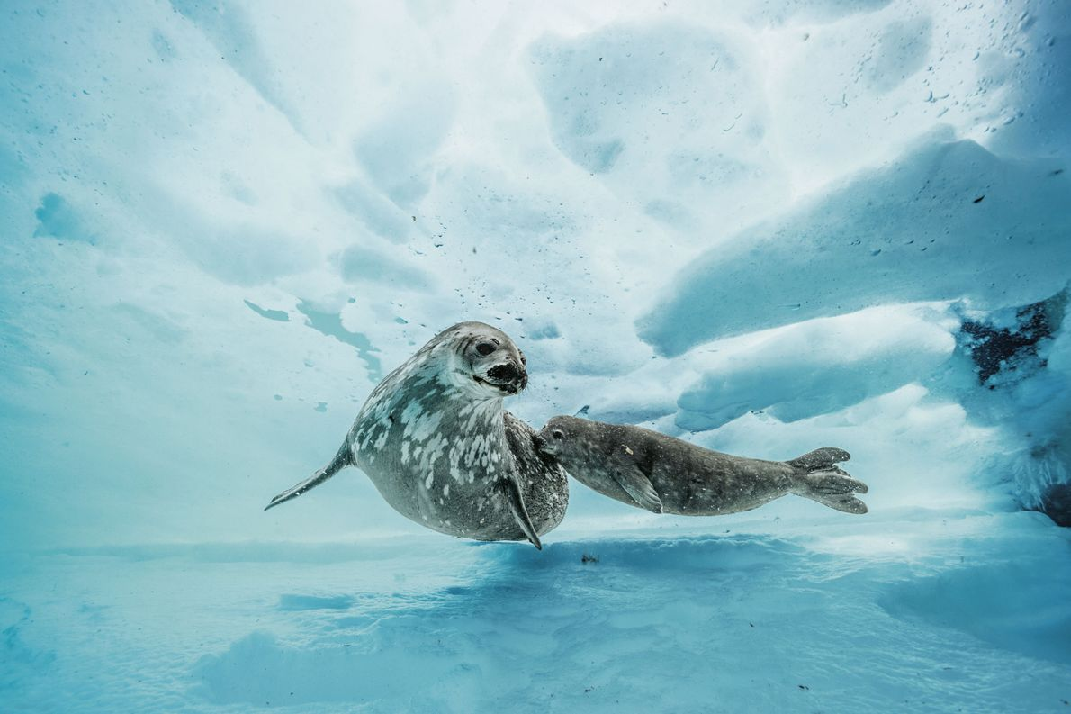 Weddellrobben in der Antarktis